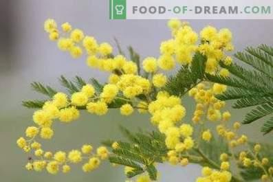 Hur man håller mimosa fluffigt i en vas